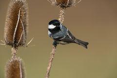 Coal tit. Sitting on a branch Royalty Free Stock Images
