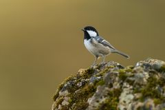 Coal tit. Sitting on a branch Stock Photos