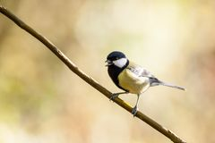 An coal tit. Sitting on the branches of a bush resting Royalty Free Stock Photo