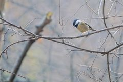 Coal Tit. A Coal Tit stands on branch in the winter. Scientific name: Parus ater Stock Images