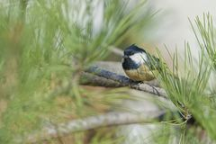 Coal Tit. A Coal Tit stans on branch of pine tree. Scientific name: Parus ater Stock Photography