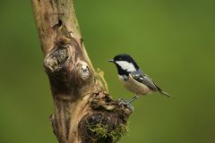 Coal tit in dry tree. Coal tit dry branch at evening in the garden Royalty Free Stock Image