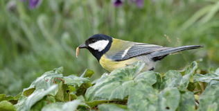 Coal tit eating a worm Stock Photo