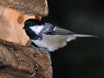 Coal Tit  at the entrance of a bird house Royalty Free Stock Photo
