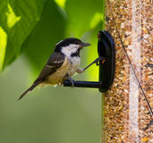 Coal Tit Stock Photos