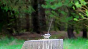 Coal Tit feeding. On some seeds on a wooden stump stock footage