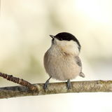Coal tit in the garden in winter Royalty Free Stock Photo