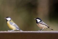 Coal tit and great tit at the feeding place, Vosges, France Royalty Free Stock Photo