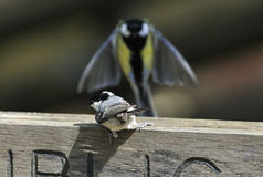Coal Tit with Great Tit Royalty Free Stock Images