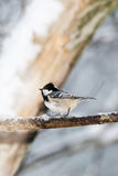 Coal tit on a icy twig (Periparus ater) Stock Photos