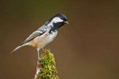 Coal tit on moss Stock Images