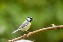 An coal tit. In nature on a stick there is a coal tit Royalty Free Stock Photos