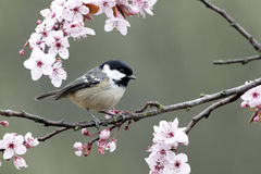 Coal tit, Parus ate Royalty Free Stock Photo