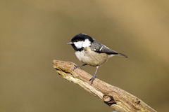 Coal tit, Parus ate Stock Photography
