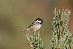 Coal tit, Parus ate Stock Photos