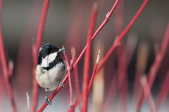 Coal tit (Parus ater) Royalty Free Stock Photos