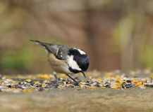 Coal Tit - Parus ater. Coal Tit feeding on seed - Parus ater Royalty Free Stock Photography