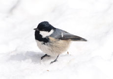 Coal Tit (Parus ater) Stock Photography