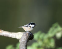Coal Tit (Parus ater) Royalty Free Stock Images