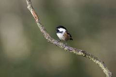 Coal Tit (Parus ater) Royalty Free Stock Photography