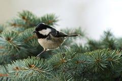Coal Tit (Parus ater). Bird stock images