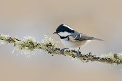 Coal Tit, Parus ater, cute blue and yellow songbird in winter scene, snow flake and nice snow flake and nice lichen branch, bird i. Coal Tit, Parus ater, cute Royalty Free Stock Images