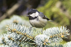 Coal tit (Parus ater) on a fir branch - close up Royalty Free Stock Photography