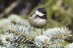 Coal tit (Parus ater) on a fir branch Stock Image