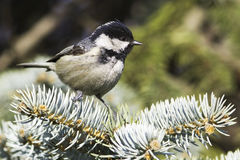 Coal tit (Parus ater) on a fir branch. Close up Stock Photography