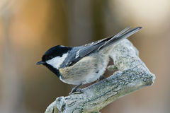 The Coal Tit. Coal Tit (Parus ater) on a frosty branch with a defocused background Stock Image