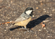 Coal Tit, Parus ater Royalty Free Stock Photos