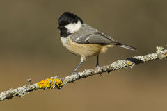 Coal tit (Parus ater) Royalty Free Stock Image