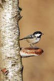 Coal tit, Parus ater Stock Images