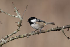 Coal tit, Parus ater Stock Photos
