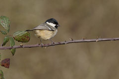Coal tit, Parus ater Royalty Free Stock Image