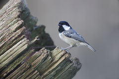 Coal tit, Parus ater Royalty Free Stock Images