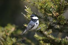 Coal tit ( Parus ater) Stock Photography
