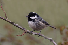Coal tit, Parus ater Royalty Free Stock Photography