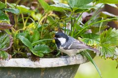 Free Coal Tit, Passerine Bird In Yellow Grey With Black White Nape Sp Royalty Free Stock Photography - 106062227