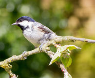 Coal Tit perched on branch of apple tree Royalty Free Stock Image