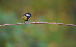 Coal Tit perched on a branch. Royalty Free Stock Photography