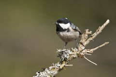 Coal tit perched on a branch, Vosges, France Stock Images