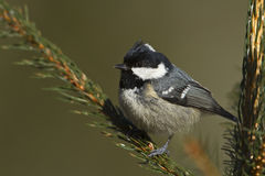 Coal tit perched on a fir tree branch, Vosges, France Royalty Free Stock Photo