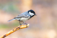 Coal tit perched on pine branch. Coal tit (Periparus ater) perched on a dry pine branch in spring forest Stock Photo