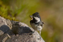 Coal tit perched on a stone, Vosges, France Stock Photo