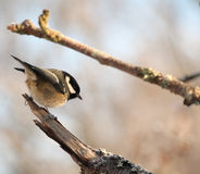 Coal Tit perched in tree Royalty Free Stock Images