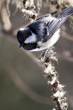 Coal Tit (Periparus ater). On a pine branch Royalty Free Stock Photos