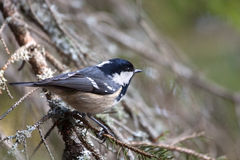 Coal Tit (Periparus ater). On a spruce (Picea abies) branch, his natural environment royalty free stock photo