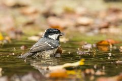 Coal Tit, Periparus ater royalty free stock photo