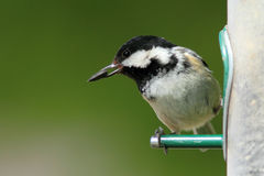 Coal Tit (Periparus ater). A coal tit on the perch of a feeder with a seed in its beak royalty free stock photo